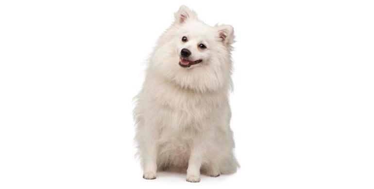perro-spitz-japones