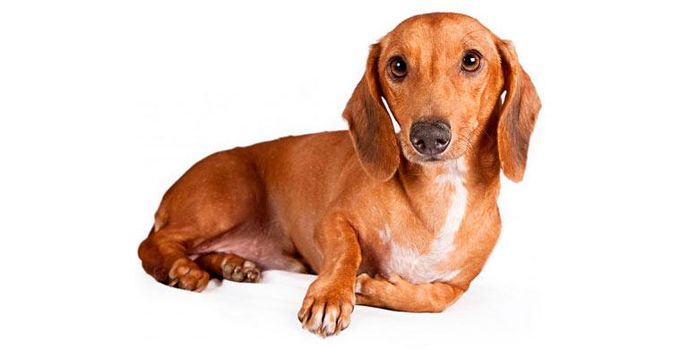 perro-teckel