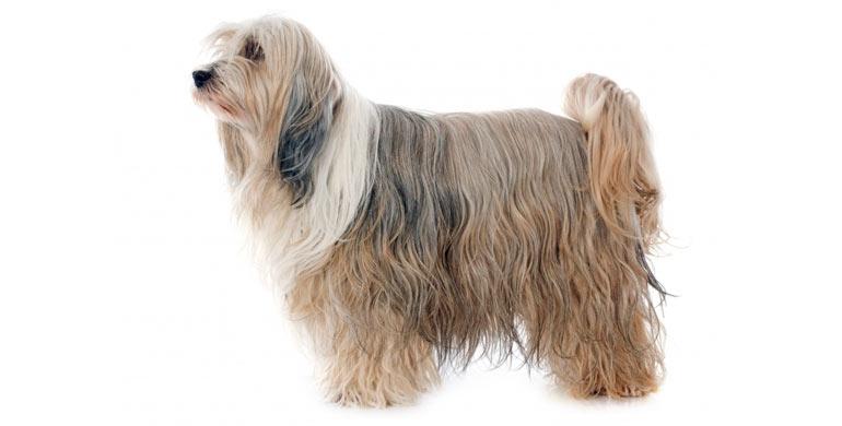 perro-terrier-tibetano