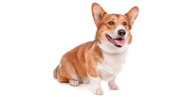 perro-welsh-corgi-pembroke