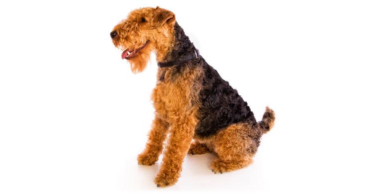 perro-welsh-terrier
