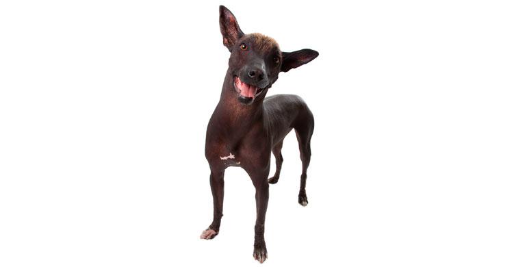 perro-xoloitzcuintle-perro-sin-pelo-mexicano