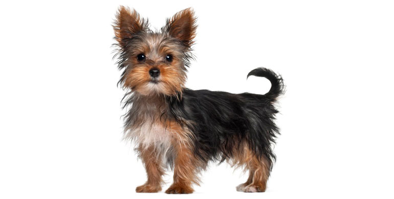 perro-yorkshire-terrier