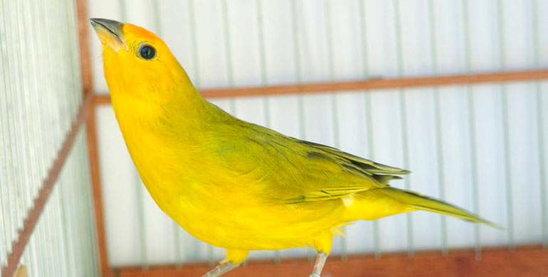 prevencion-enfermedades-del-canario