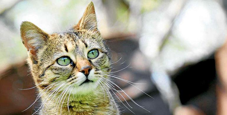 rabia-felina