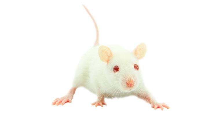 los ratones son los ms pequeos de los roedores que encontramos hoy en da como mascotas y hay multitud de especies distintas disponibles