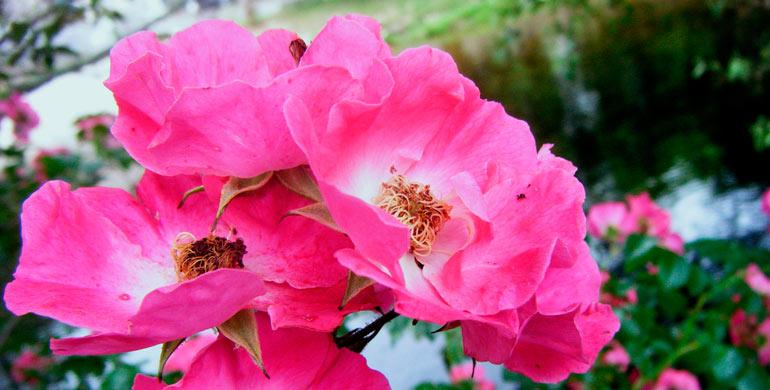rosa-canina