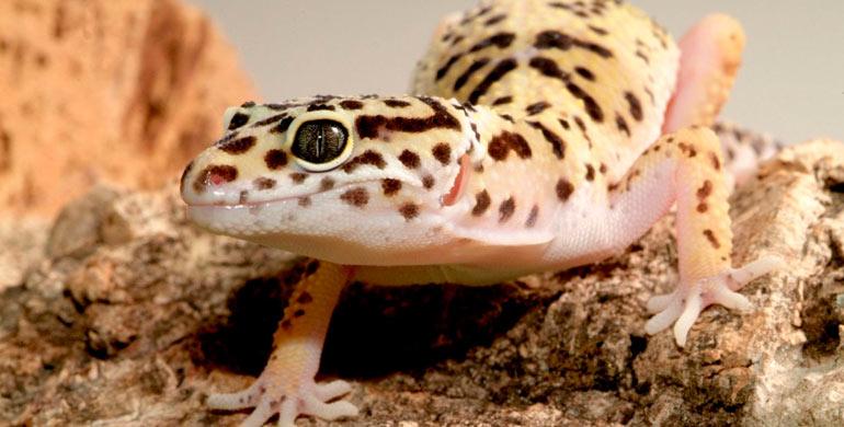 salud-del-gecko-leopardo