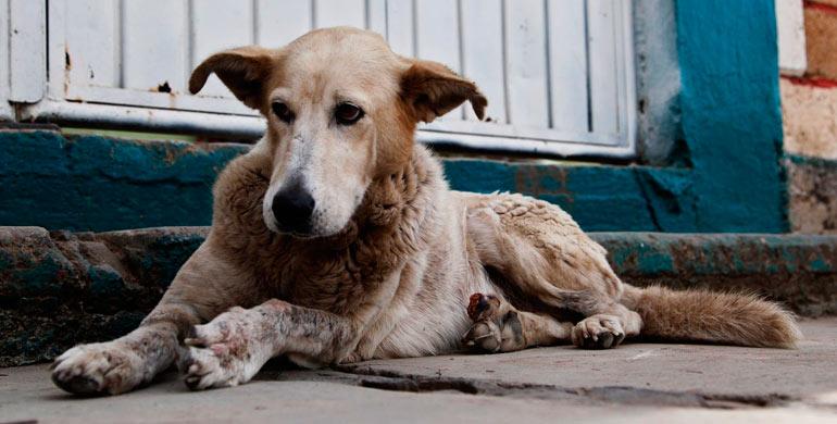 sarna-demodectica-en-perros