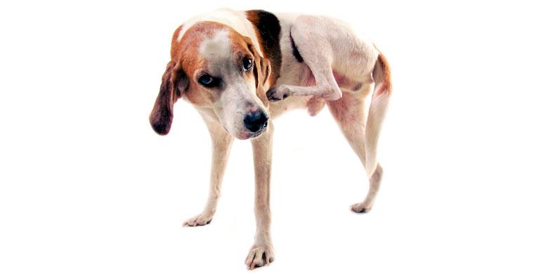 sarna-sarcoptica-en-perros