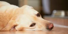 Torsión de estómago en perros