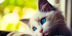 Virus de inmunodeficiencia felina: el SIDA de los gatos