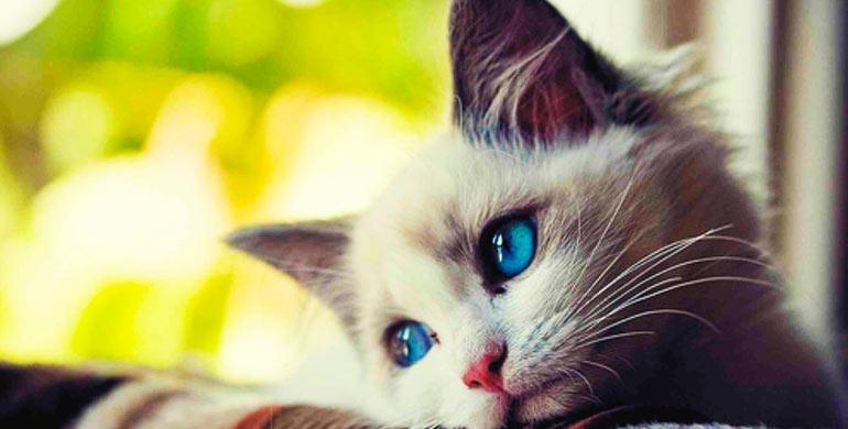 virus-sida-de-los-gatos