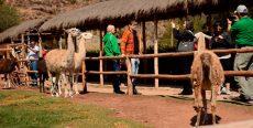 Awana kancha: Parque de Camélidos Sudamericanos en Cusco