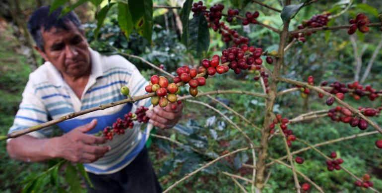 La ruta del café (Cusco)